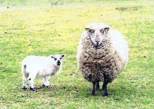 Les moutons de la ferme Lemoine