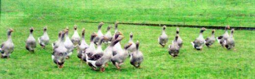 Les oies de la ferme Lemoine