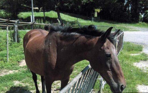 Amanda le cheval de la ferme des Condos - Lemoine