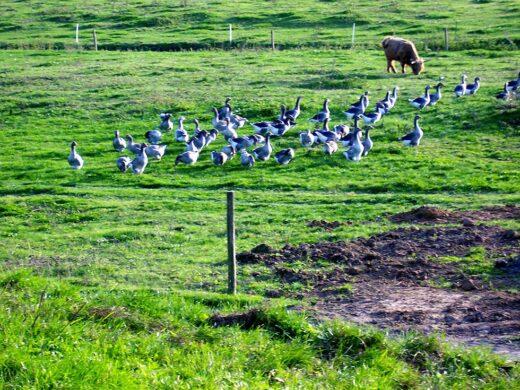 Les Oies, les bonnes gardiennes de la Ferme