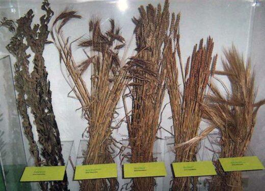 les céréales cultivées, orges..