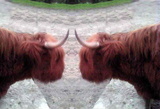 2 vaches à poils longs et à cornes