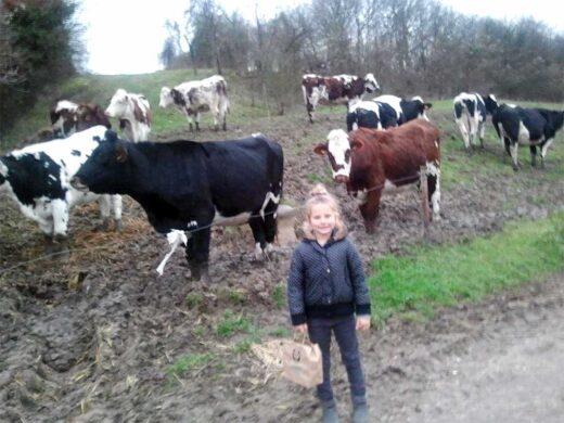 Les vaches de la ferme des condos descendues du plateau de l'enfer