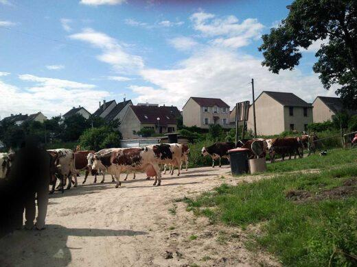 Les vaches rentrent à l'étable