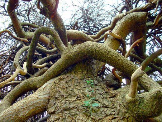 Les branches du Sophora dans le parc du Château - 06