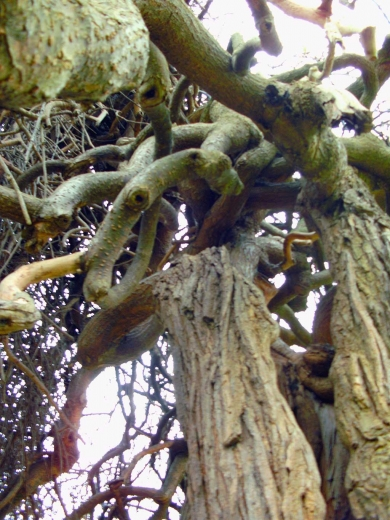 Les branches du Sophora dans le parc du Château - 07