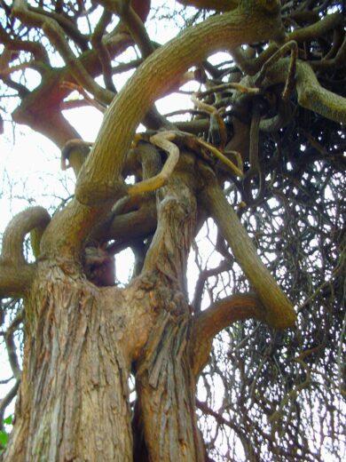 Les branches du Sophora dans le parc du Château - 10