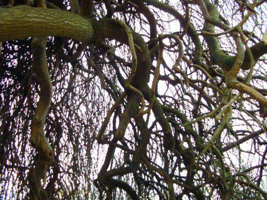 Les branches du Sophora dans le parc du Château - 11