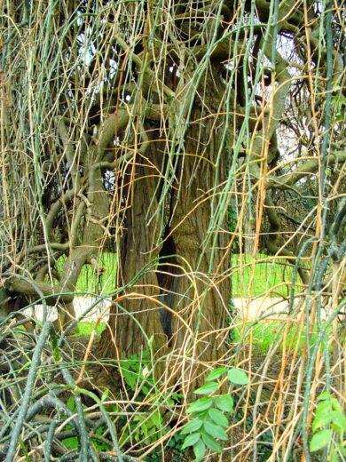 Sophora : une branche sans feuilles
