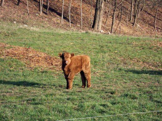 Une nouvelle belle jeune vache à la Ferme