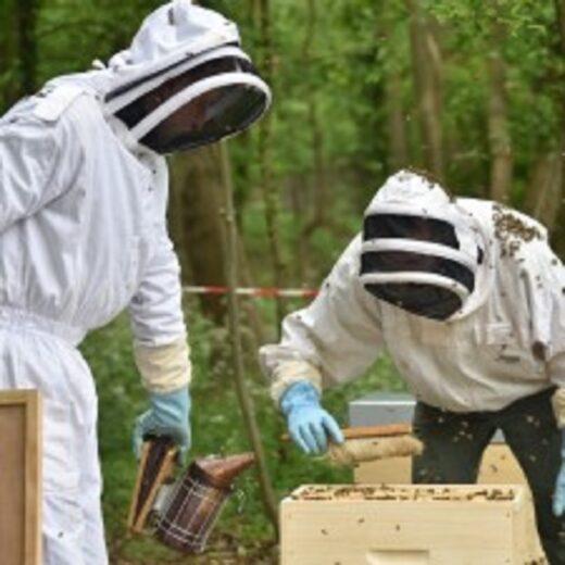 Deux apiculteurs enfument la ruche
